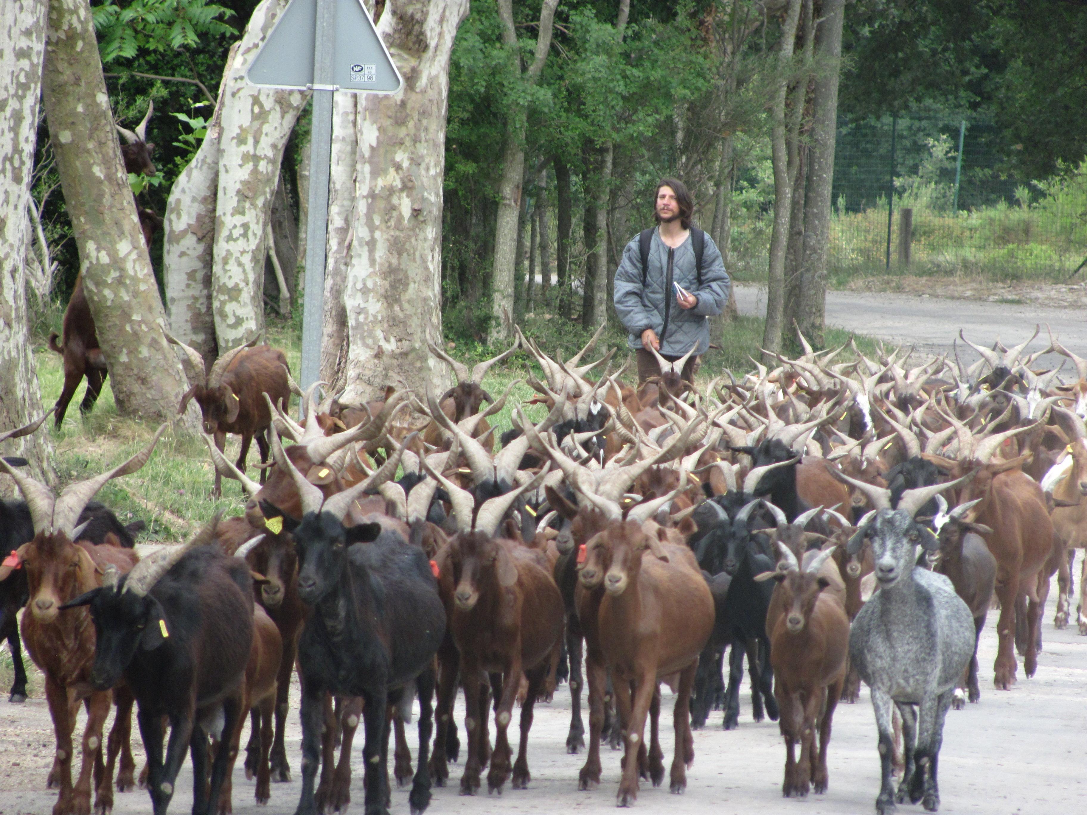 Aux Portes de Marseille : un troupeau de Chèvres (Cabres), comme un air de campagne !