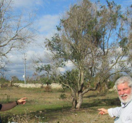 Les Pouilles : Depuis 2013 / Hécatombe dans les champs d'oliviers du Salento*