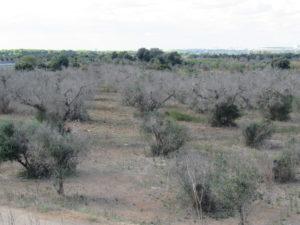 des centaines d'hectares de plantations d'oliviers morts ou mourants dans le salento