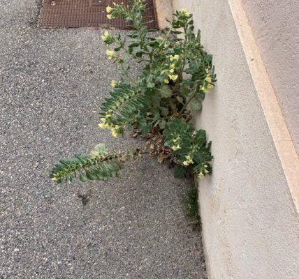 #La Nature en ville# : – La flore se fraye un chemin dans l'espace public –