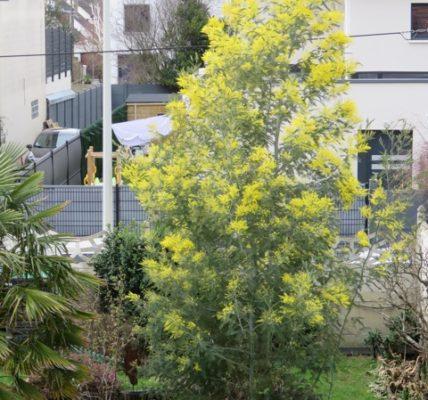(10) Déambulations Hivernales 2020/2021 : L'hiver n'a pas dit son dernier mot mais – Le mimosa – annonce le printemps – Vivement le 21 mars.
