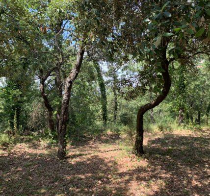 #Déambulation Estivales 2021 : Il existe des espaces boisés de chênes en Provence – rafraichissant en période de forte chaleur –